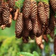 Large Pine Cones hanging on a Tree branch — Stock Photo