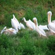 Pelicans in Zoo white pelikan on green — Stock Photo