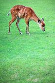 Afrykańskich zwierząt sitatunga tragelaphus spekii — Zdjęcie stockowe