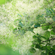 Stock Photo: Green flower Cotinus coggygrior Smoketree