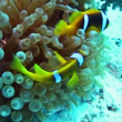 Clownfishes and anemone — Stock Video #13298671