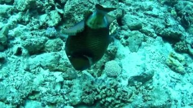 Titan triggerfish — Stock Video