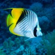 threadfin butterflyfish — Stock Photo #13858884