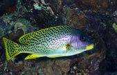 Blackspotted sweetlips — Stock Photo