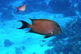 Brown surgeonfish — Stock Photo
