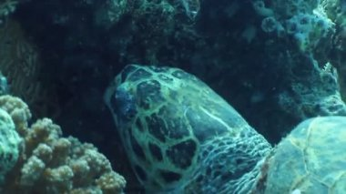 Hawksbill turtle — 图库视频影像