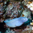 Grey moray - Stock Photo