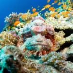 Bearded scorpionfish — Stock Photo #16635077