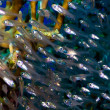 Shoal of glassfish — Stock Photo
