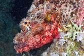 Scorpionfish head — Stock Photo