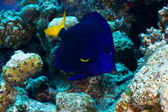 Yellowtail tang — Stockfoto