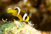 Mladá clowfish — Stock fotografie
