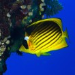 Diagonal-lined butterflyfish - Stock Photo