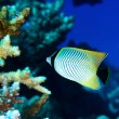 Chevron butterflyfish — Stock Photo
