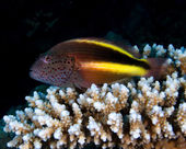 Blackside hawkfish — Stock Photo
