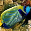 Постер, плакат: Emperor angelfish