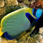 ������, ������: Emperor angelfish