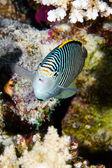 Zebra angelfish — Stock Photo