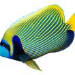 Emperor angelfish — Stock Photo #25563571