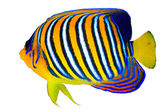 Royal angelfish — Stock Photo