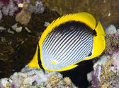 Black-backed butterflyfish — Foto de Stock