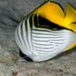 threadfin butterflyfish — Stock Photo #25663311