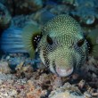 Stock Photo: Whitespotted Puffer