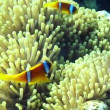 Clownfish — Stock Video