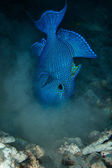 Blue triggerfish — Stock Photo