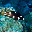 Photo: Axilspot hogfish, juvenile