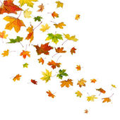 Maple leaves falling — Stock Photo