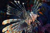 Devil firefish — Stock Photo