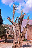 Dead tree in monastery Arkadi — Stock Photo