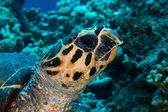 Hawksbill turtle head — Photo