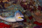 Yellowmouth moray — Stockfoto