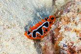 Oog plek zee slug — Stockfoto