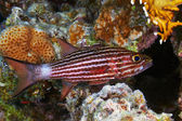 Large-toothed cardinalfish — Stock Photo