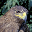 Golden eagle — Stock Photo #18088357