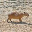 Stock Photo: Capibara