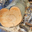 Stock Photo: Heart-shaped trunk