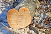 心形的树干 — 图库照片