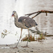 Grey heron - Foto Stock