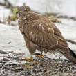 Western marsh harrier - Foto Stock