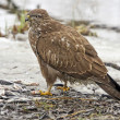 Western marsh harrier — Stock Photo #19545357