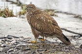 Western marsh harrier — Stock Photo
