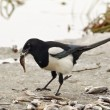 Stock Photo: Common magpie