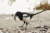 Common magpie — Stock Photo