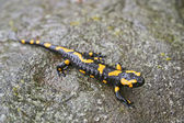 Fire salamander — Stock Photo