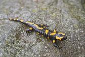 Fire salamander — Stock Photo