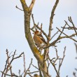 Hawfinch — Stock Photo